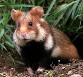 wild Slovak hamster